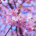 旭川の桜の開花はいつ?お花見できる場所まとめ!