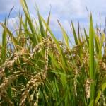 北海道☆品種ごとに違う、美味しいお米の見分け方!ゆめぴりか・ななつぼし・そして・・・